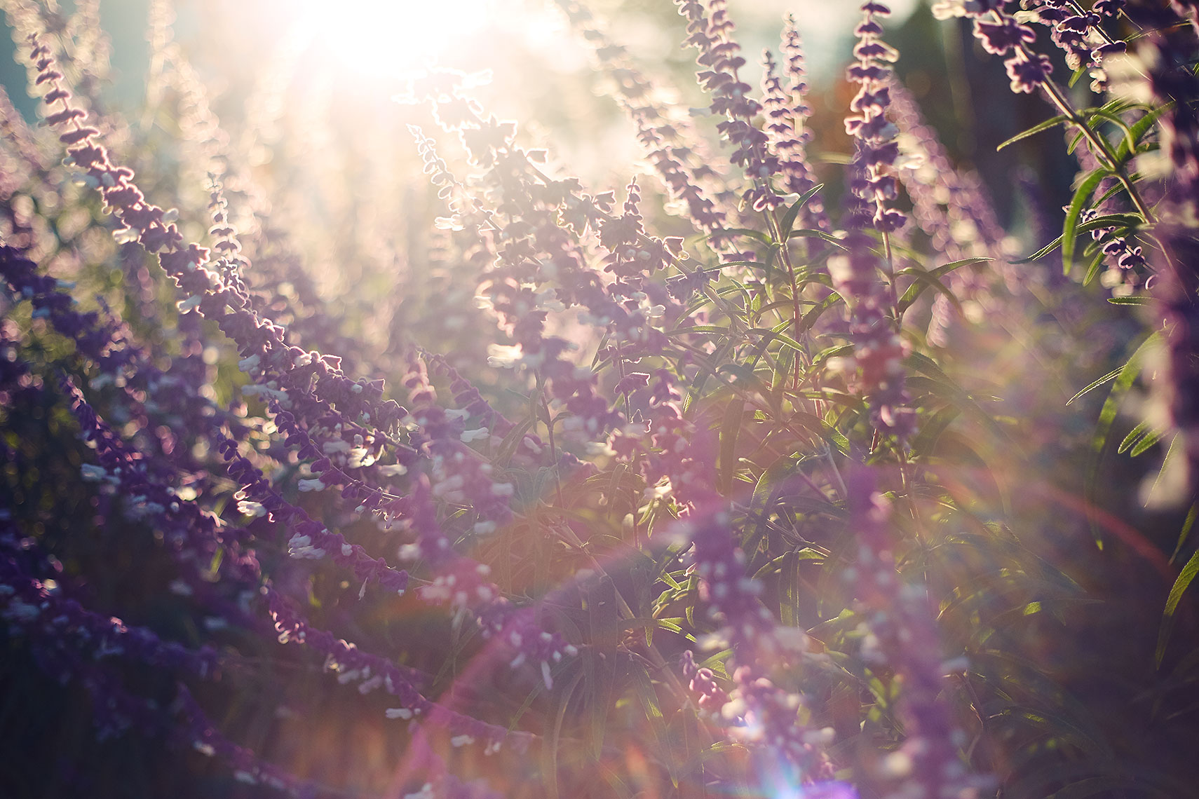 Bolsa_Sunset_04Mexican_Bush_Sage_Light_w1a