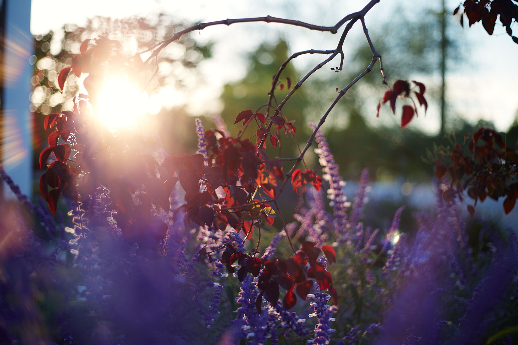 Bolsa_Sunset_32Mexican_Bush_Sage_Color_w1a